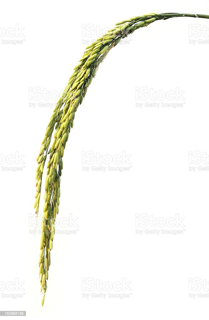 Rice paddy royalty-free stock photo