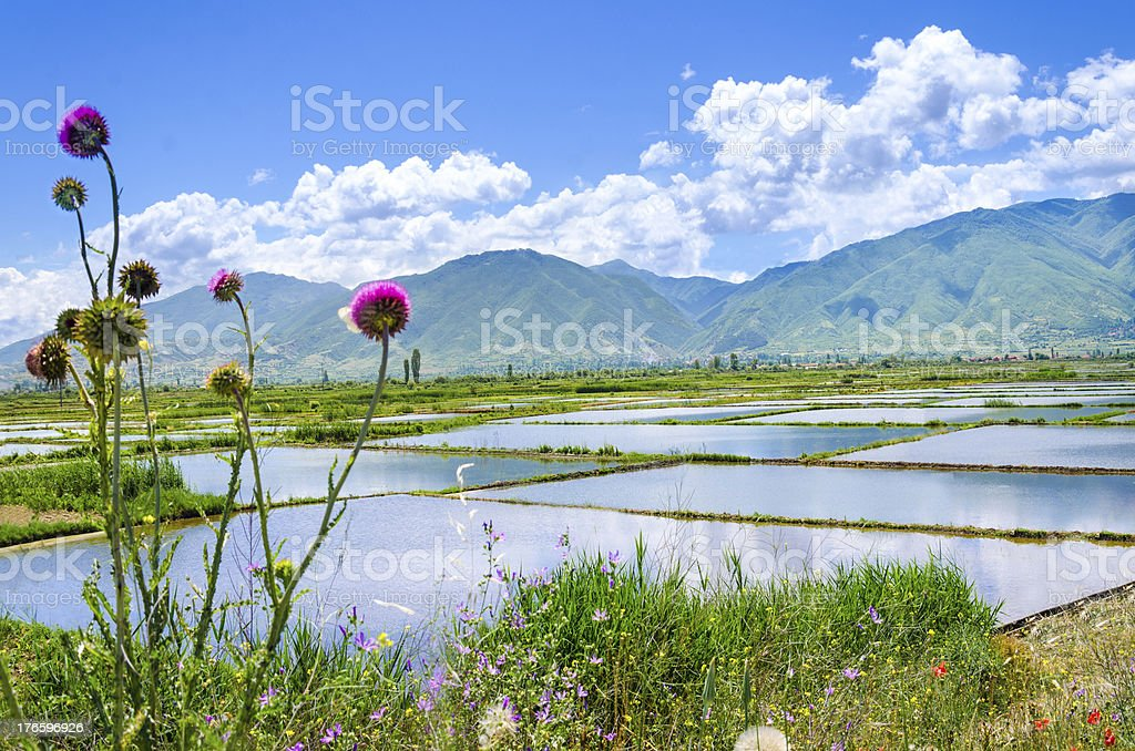 Rice paddy water fields and sky reflection royalty-free stock photo