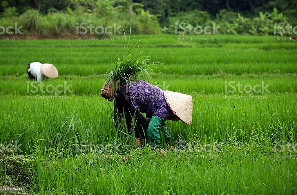 Rice paddy workers stock photo