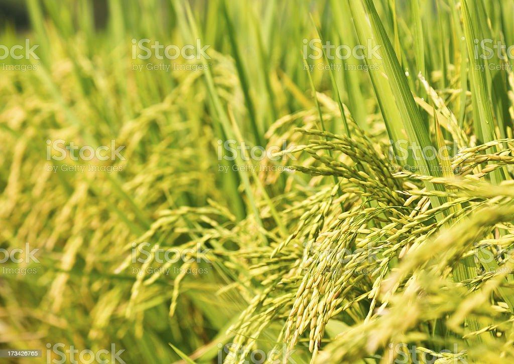 Rice panicles closeup royalty-free stock photo