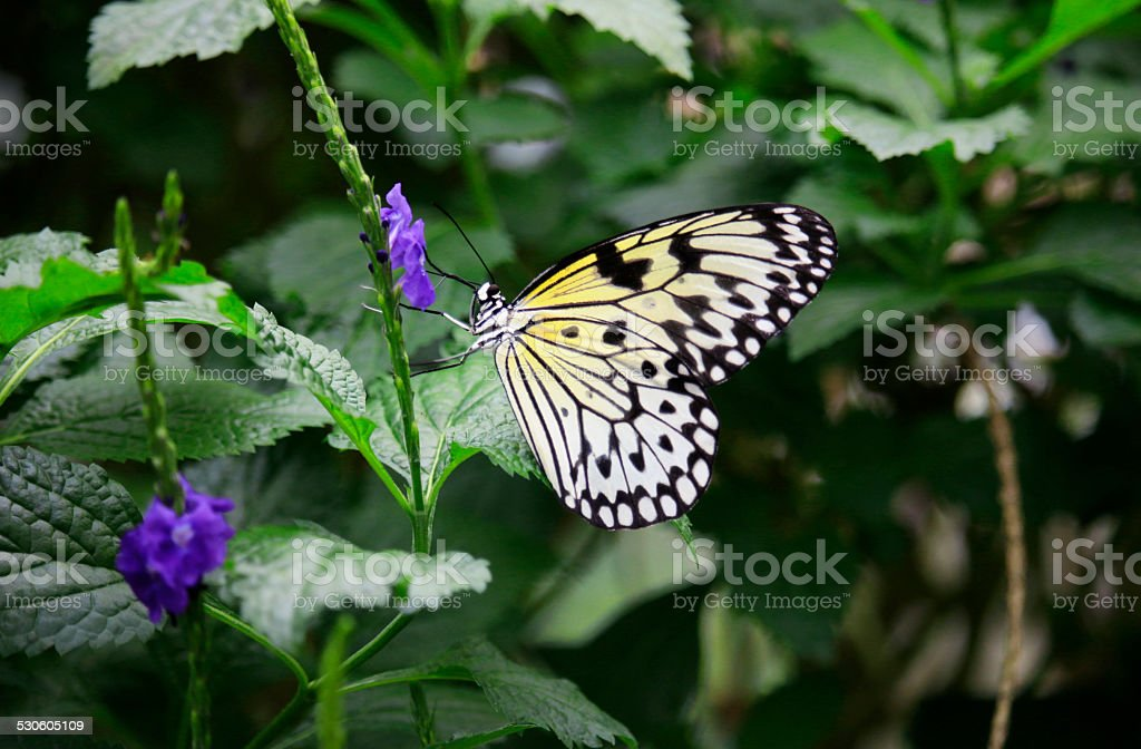 Rice Paper Butterfly Feeding stock photo