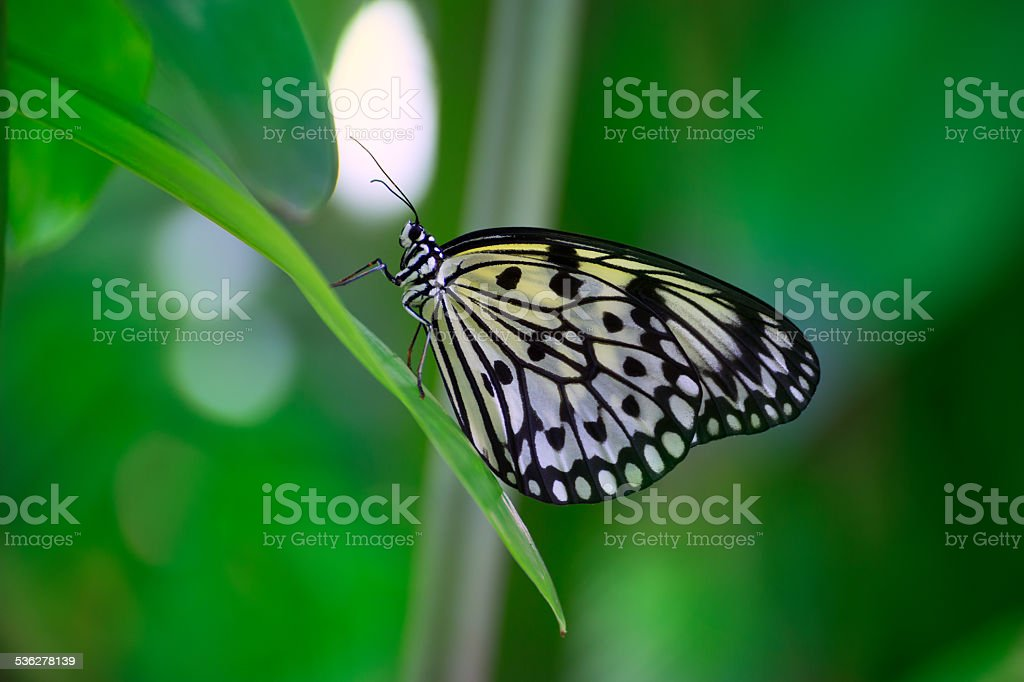 Rice Paper butterfly Idea leuconoe in green leaf stock photo