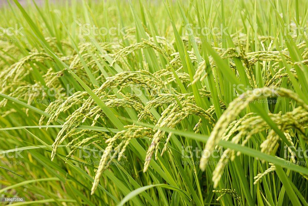 Rice royalty-free stock photo
