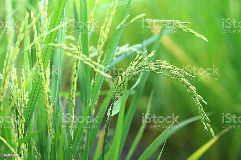 Rice plant closeup royalty-free stock photo