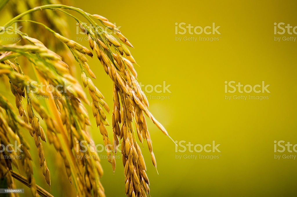Rice Plant Close-up stock photo
