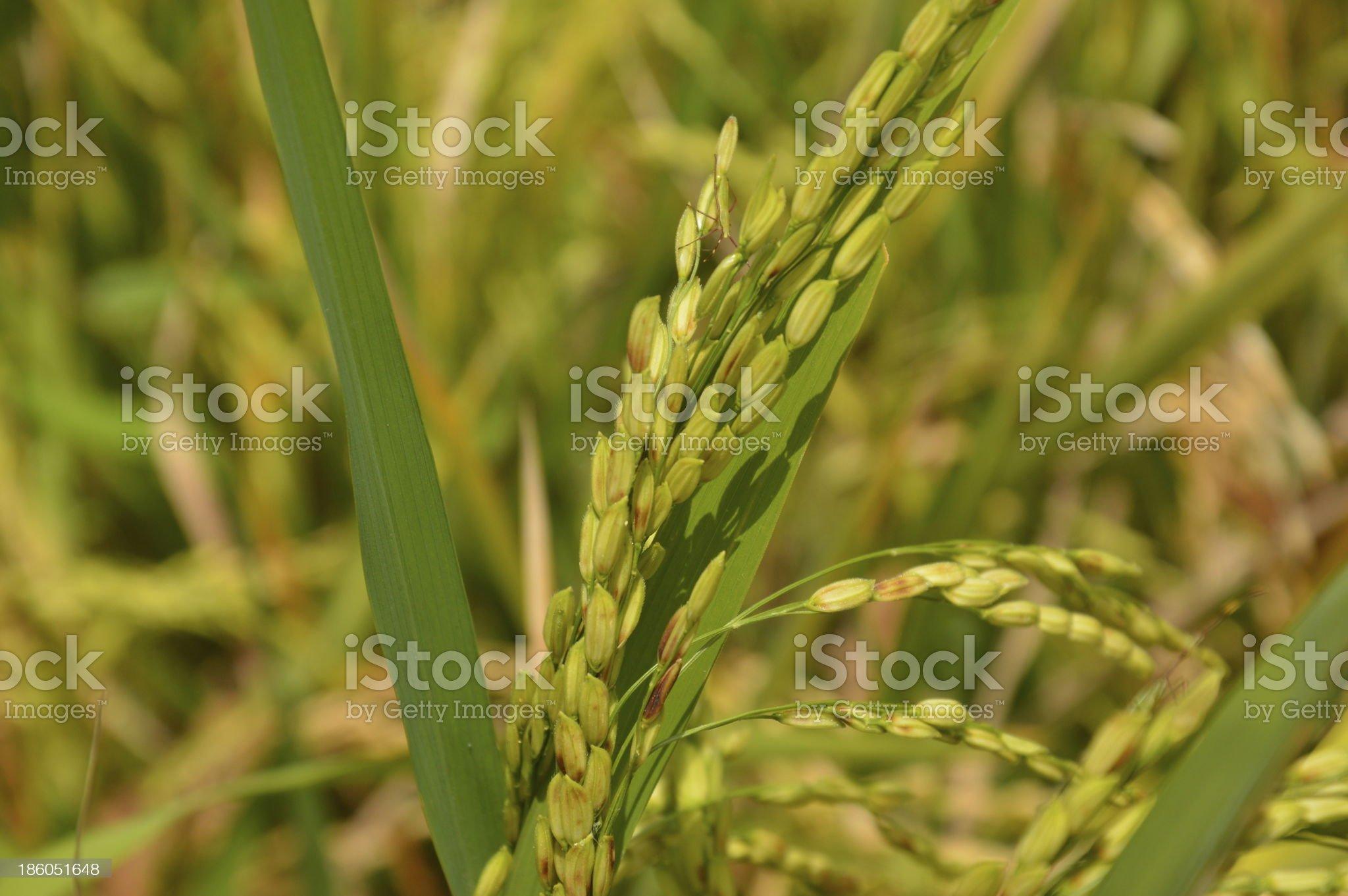 Rice plant royalty-free stock photo