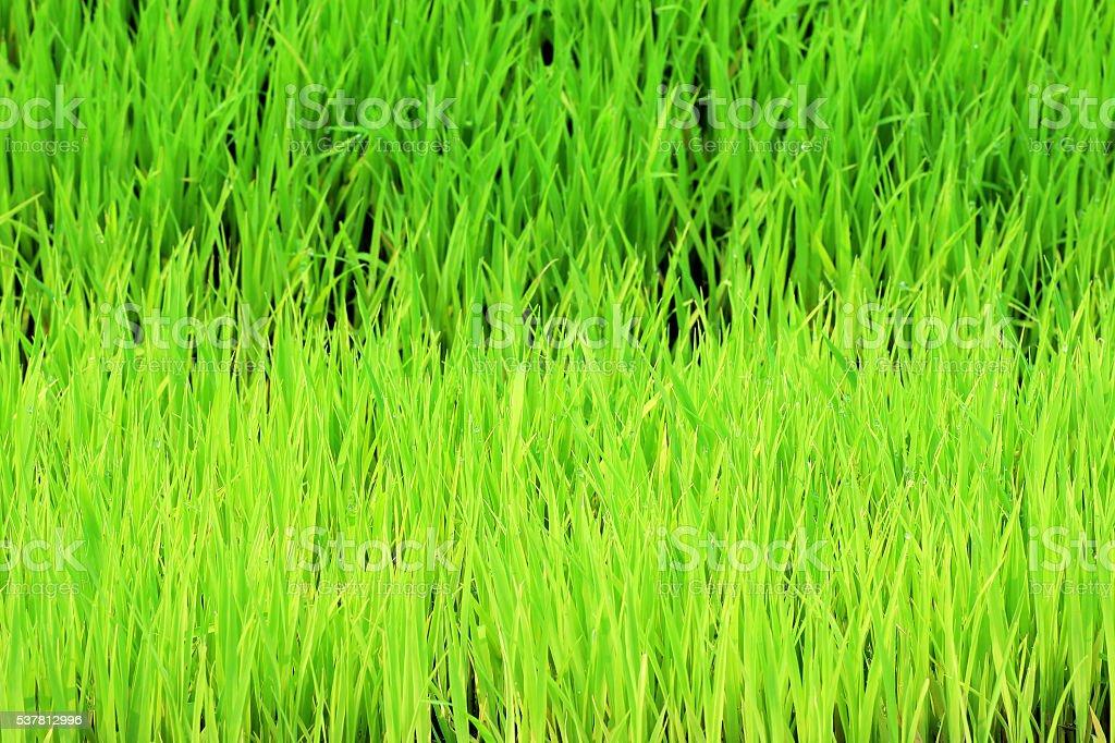 Rice plant saplings for the organic farming stock photo