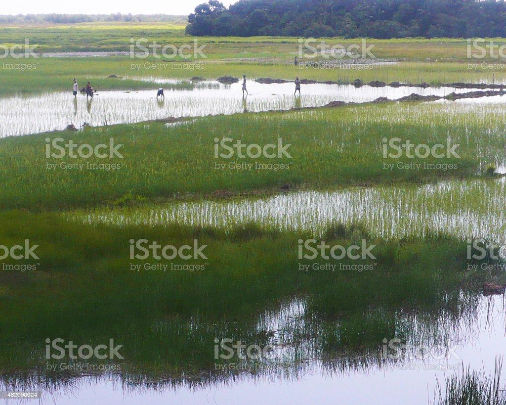 Rice plantations in Madagascar stock photo