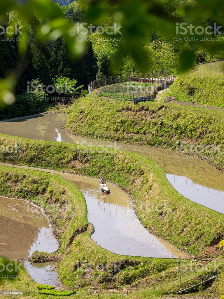 Coltivazione Di Riso E Terrazza Risaia Foto di Stock 542090020 | iStock