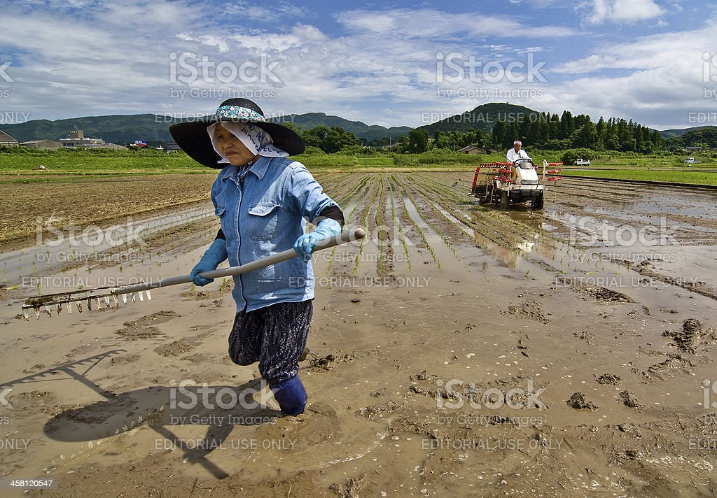 Rice planting in Japan royalty-free stock photo