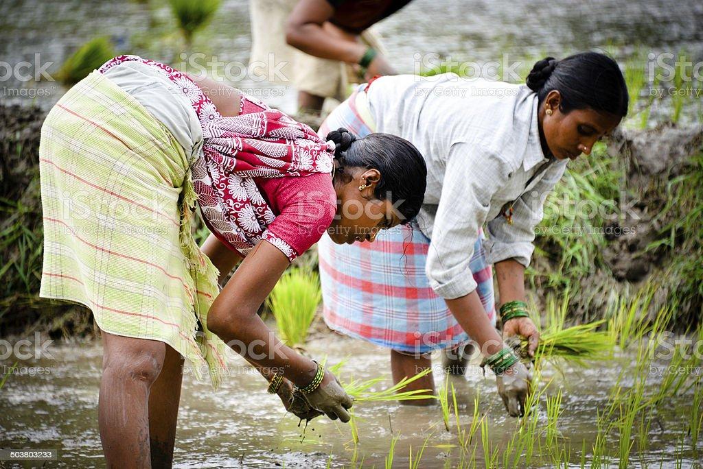 Rice Planting royalty-free stock photo