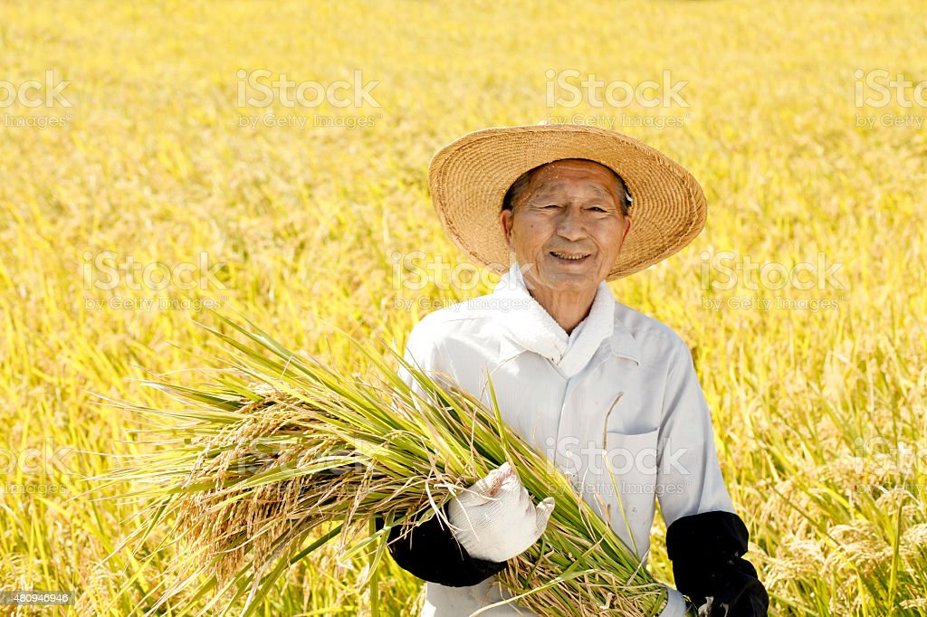 Rice reaping stock photo
