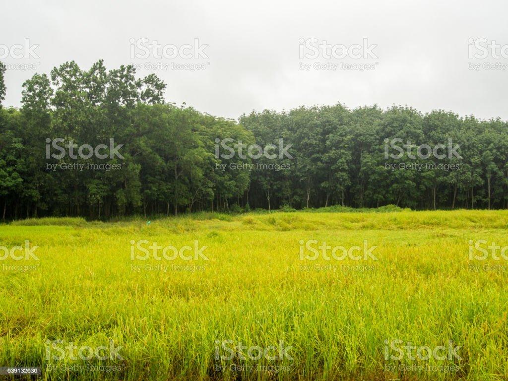 rice 's paddy stock photo