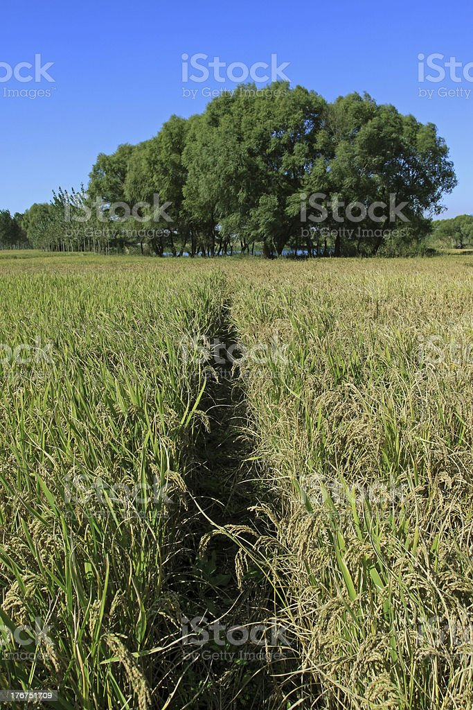 rice scenery royalty-free stock photo