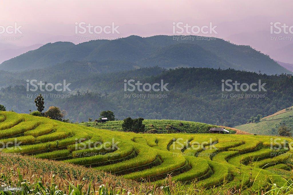 Rice seedling on terrace rice fields stock photo