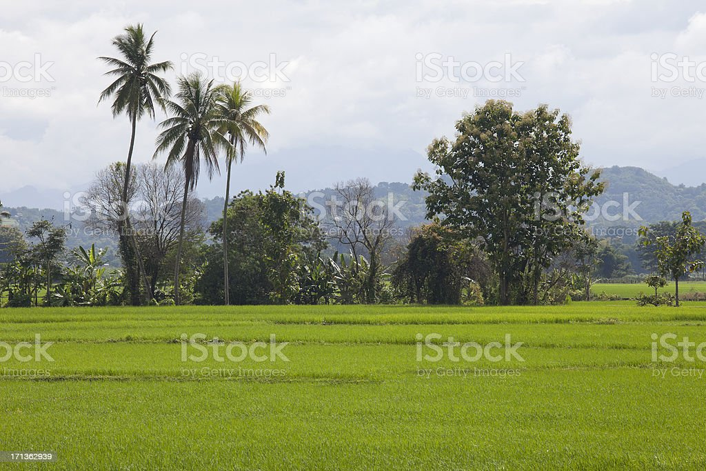 Rice seedlings, freshly planted in a Paddy Field. royalty-free stock photo