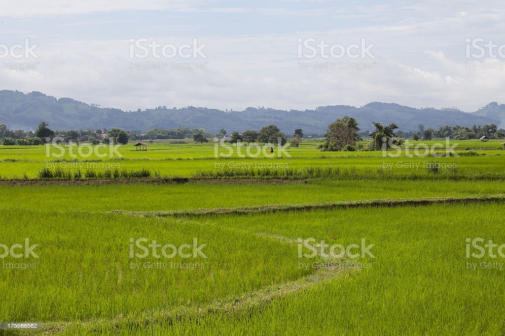 Rice seedlings, freshly planted in a Paddy Field royalty-free stock photo