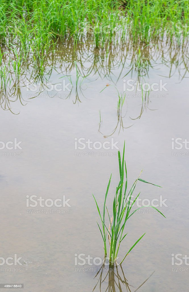 rice seedlings in paddy rice stock photo