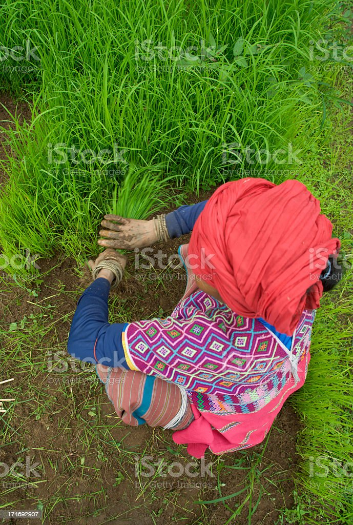 Rice seedlings stock photo