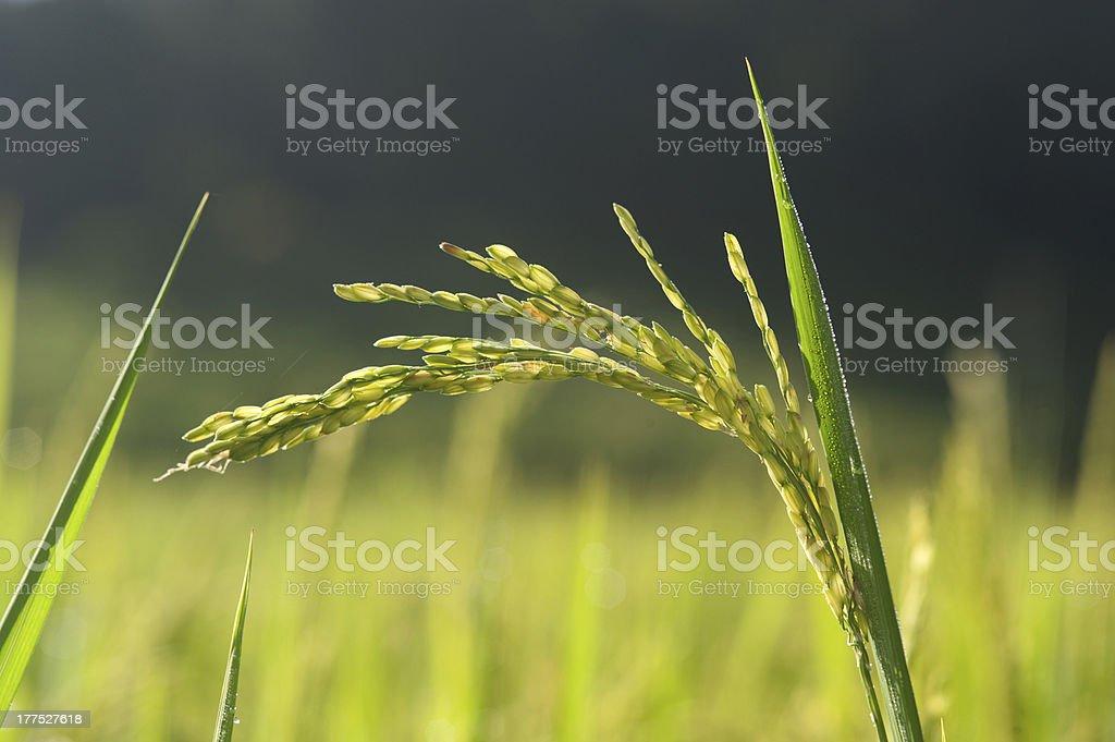 Rice sheath. stock photo