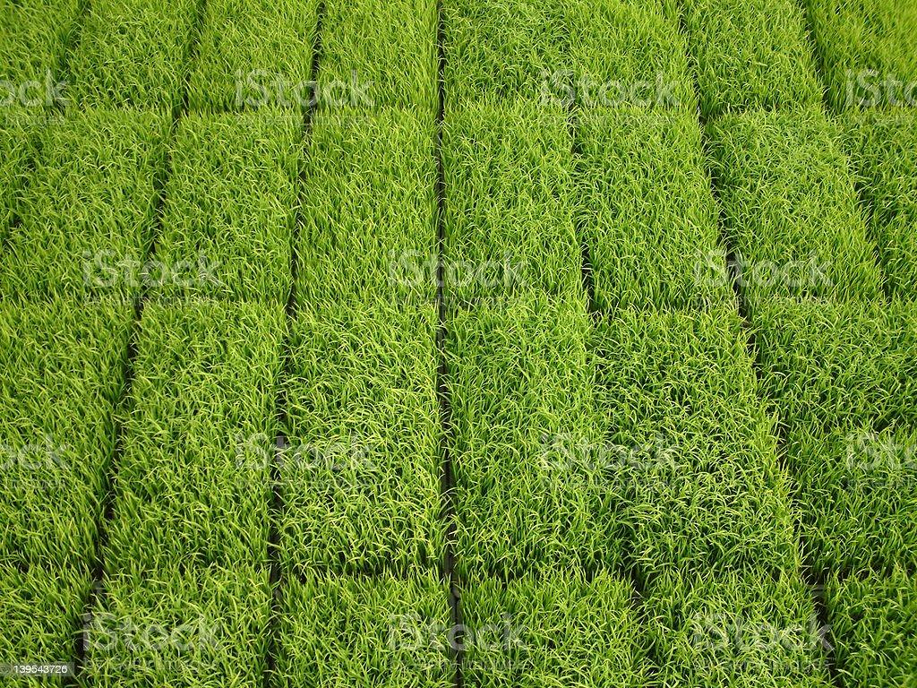 Rice Shoots royalty-free stock photo