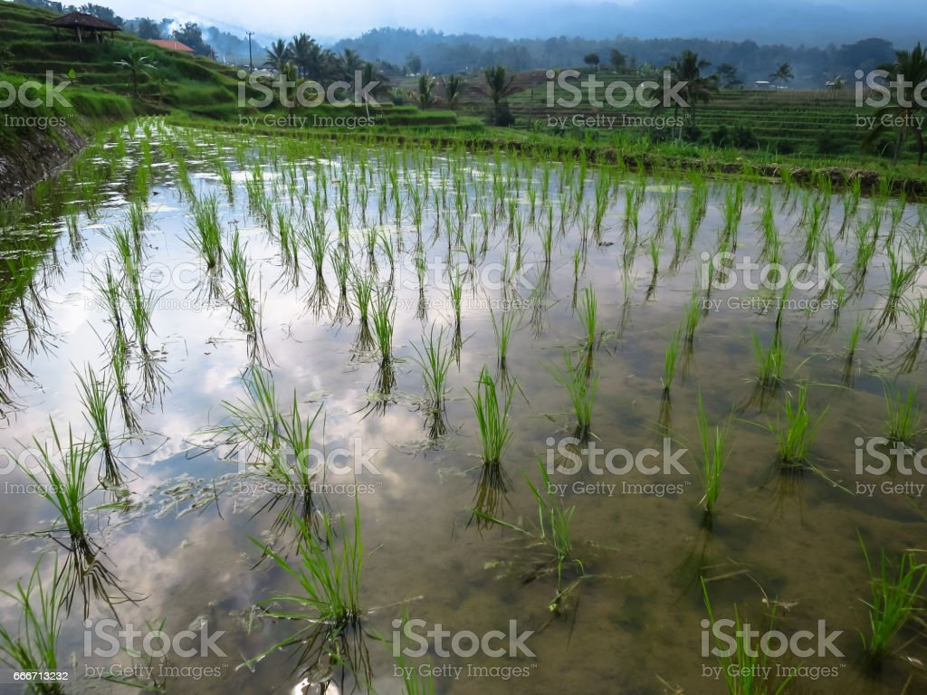 Rice sprout and water reflection on rice terrace paddy fields with mountain view stock photo