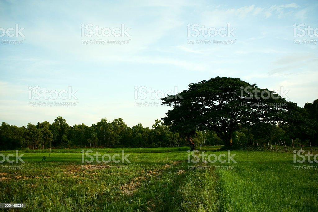 rice sprouts garden stock photo