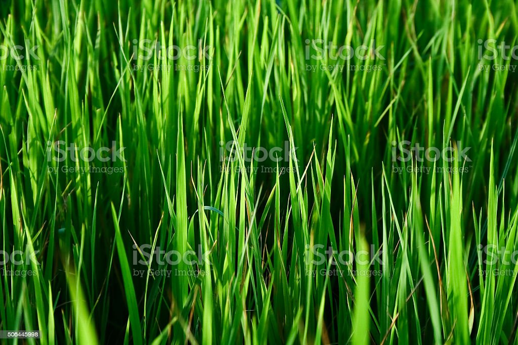rice sprouts stock photo