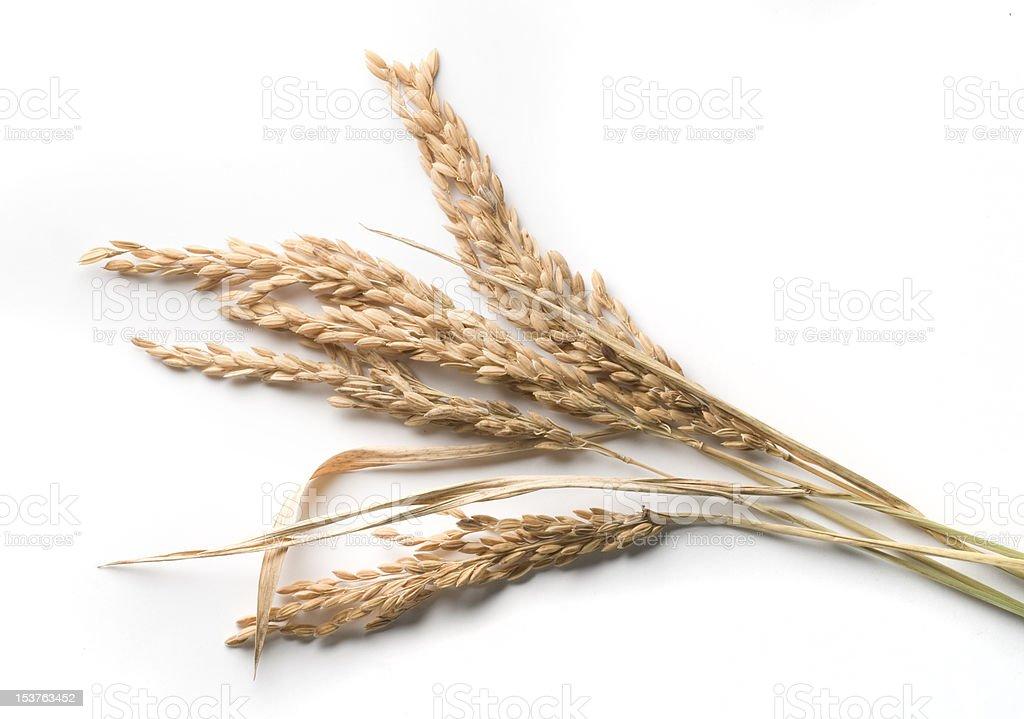 rice stalks stock photo
