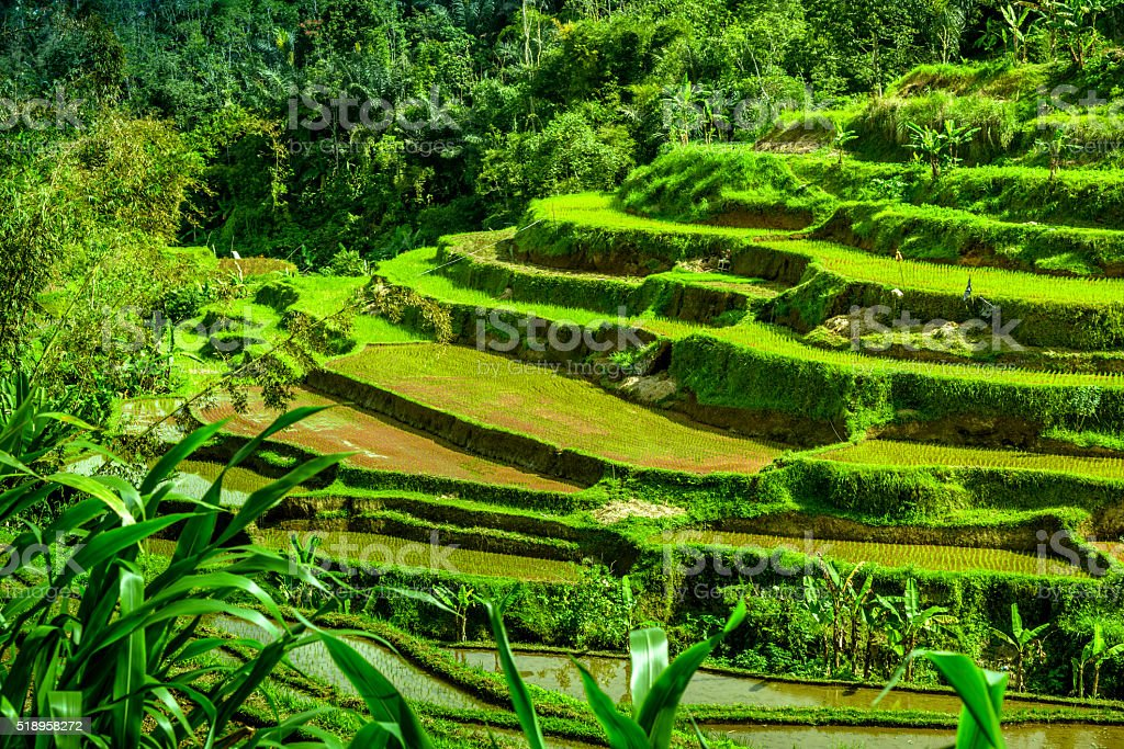 Rice terraces near Ubud, Bali, Indonesia stock photo