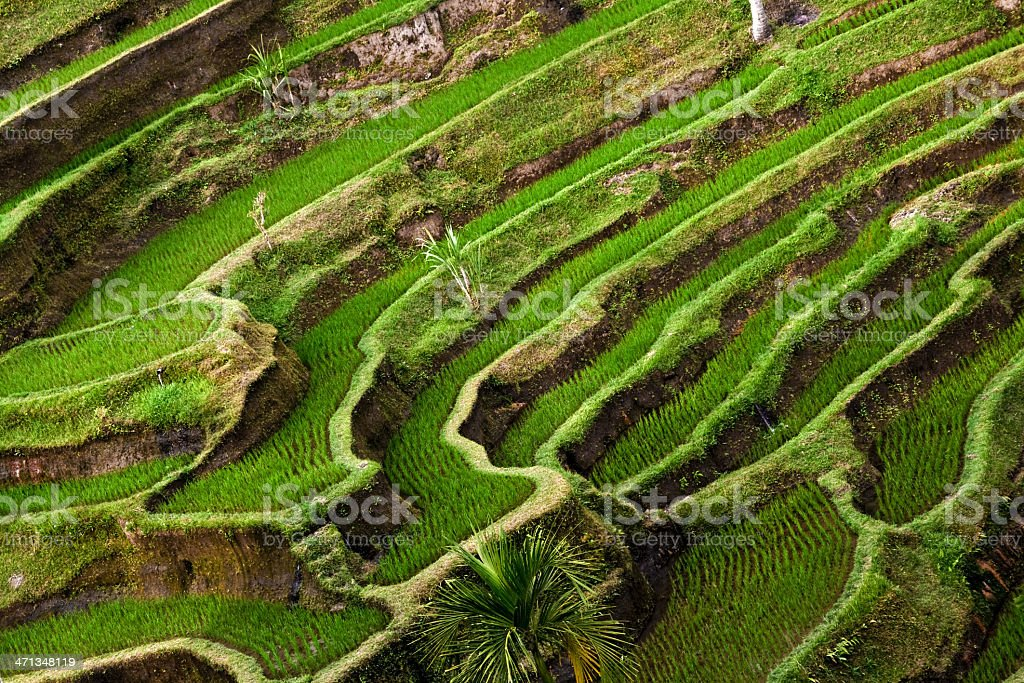 Rice terraces, Tegalalang (Bali) royalty-free stock photo