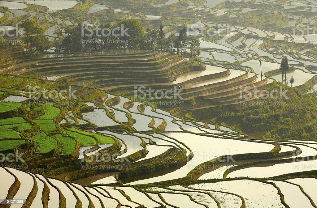 Rice terraces. Yunnan, China. stock photo
