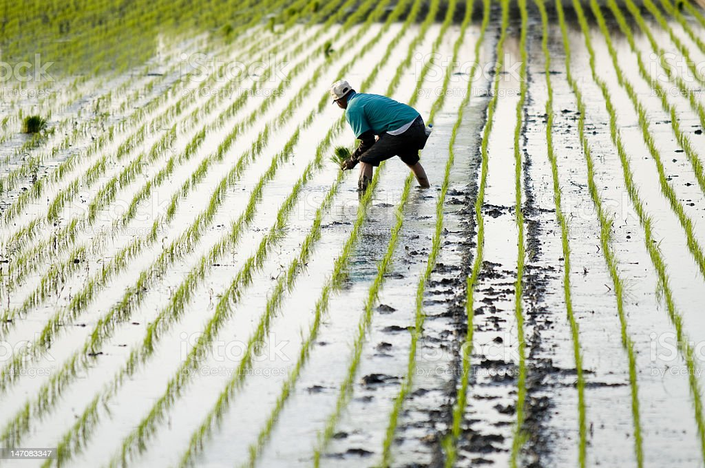 Rice Transplanting royalty-free stock photo