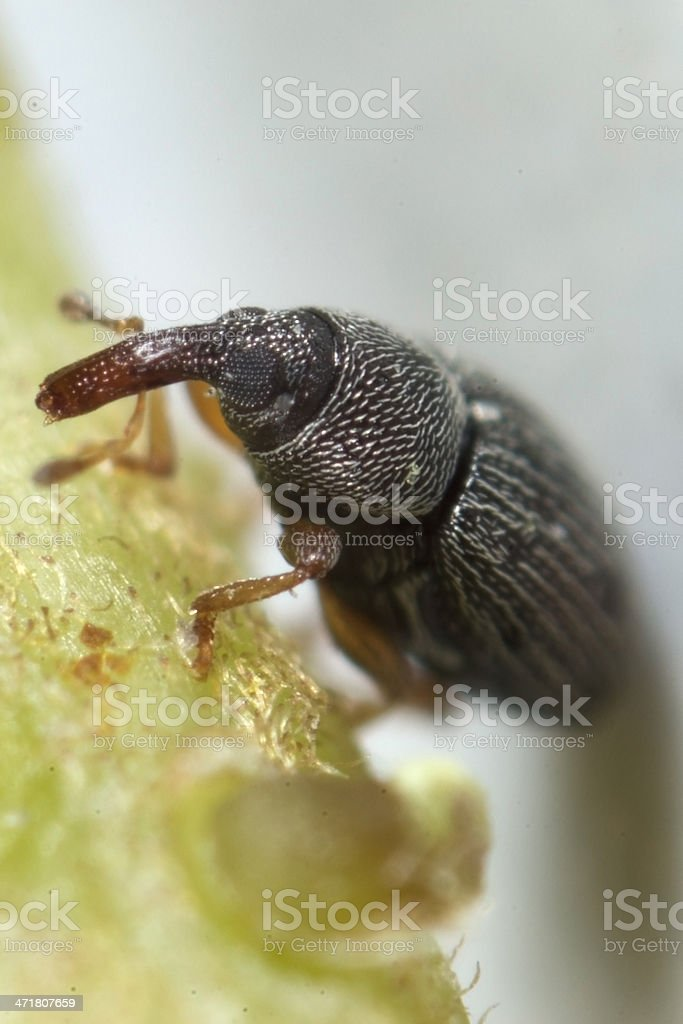 rice weevil royalty-free stock photo
