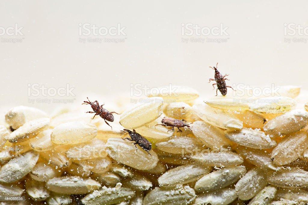 Rice Weevil stock photo