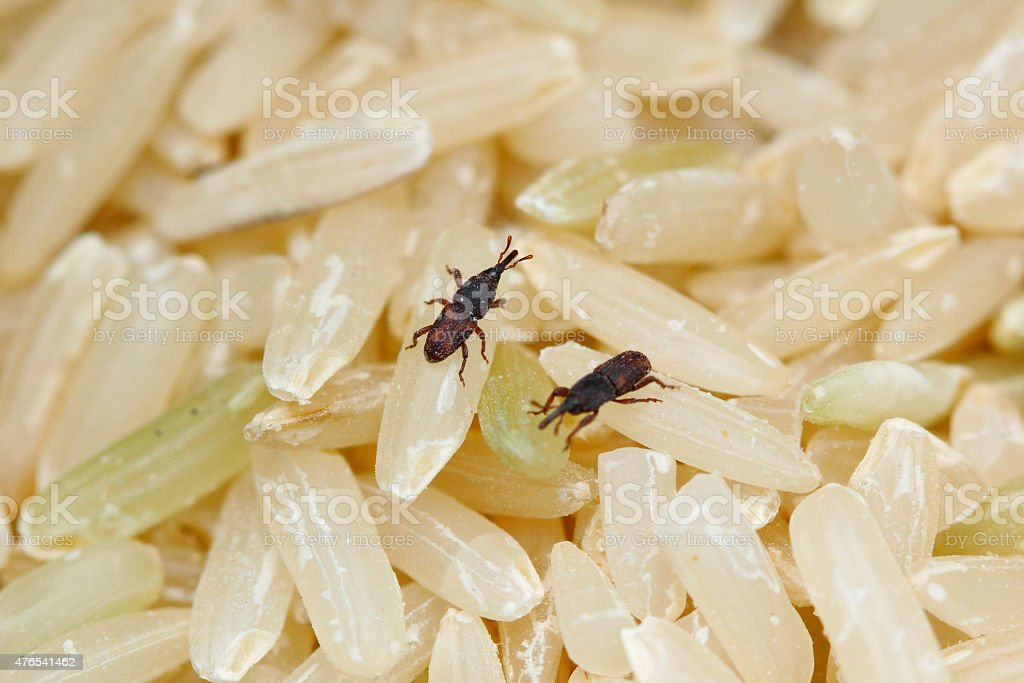 Rice Weevils stock photo