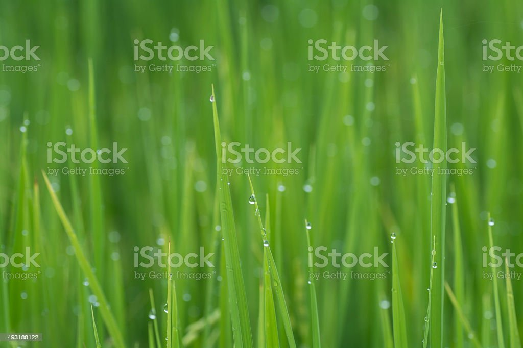 Rice with drops of rain in the morning . stock photo