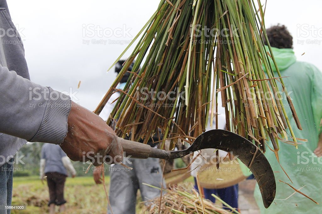 Rice workers royalty-free stock photo