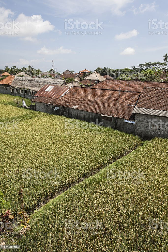 Ricefield in Ubud, Bali royalty-free stock photo
