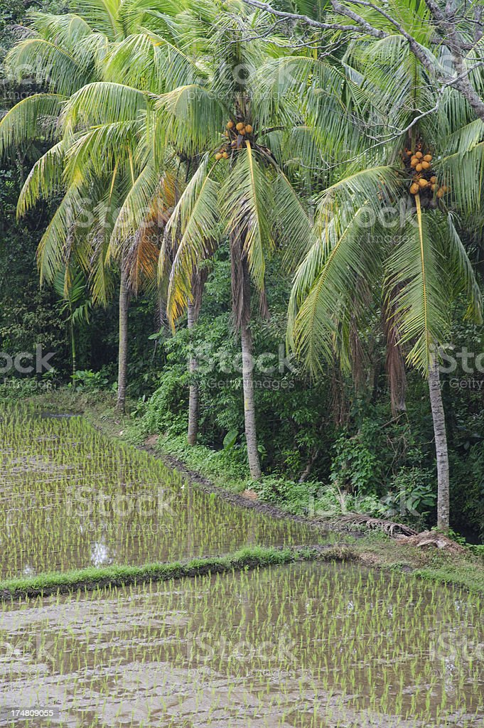 Ricefield royalty-free stock photo