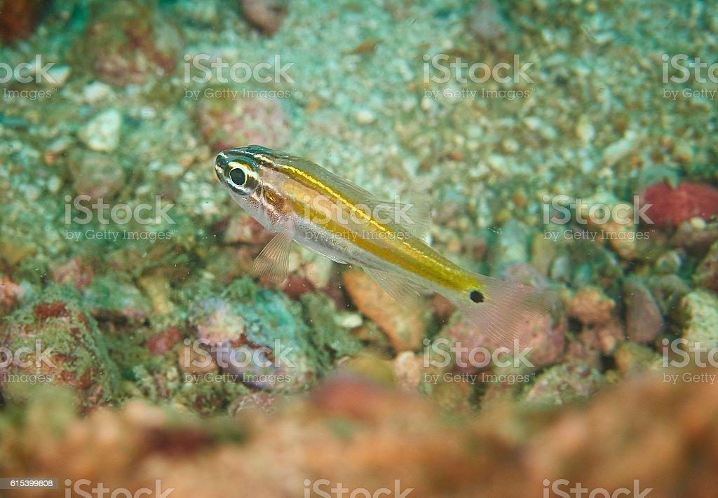 Ricefish / Glassfish stock photo