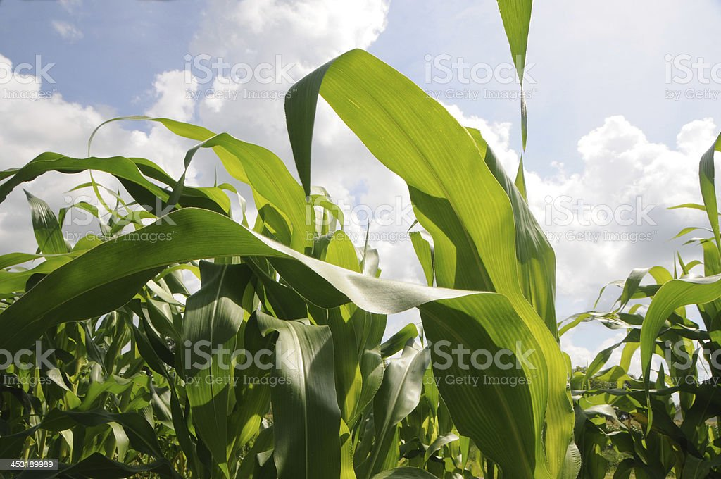 Rich and Healthy Agricluture of Corn Field royalty-free stock photo