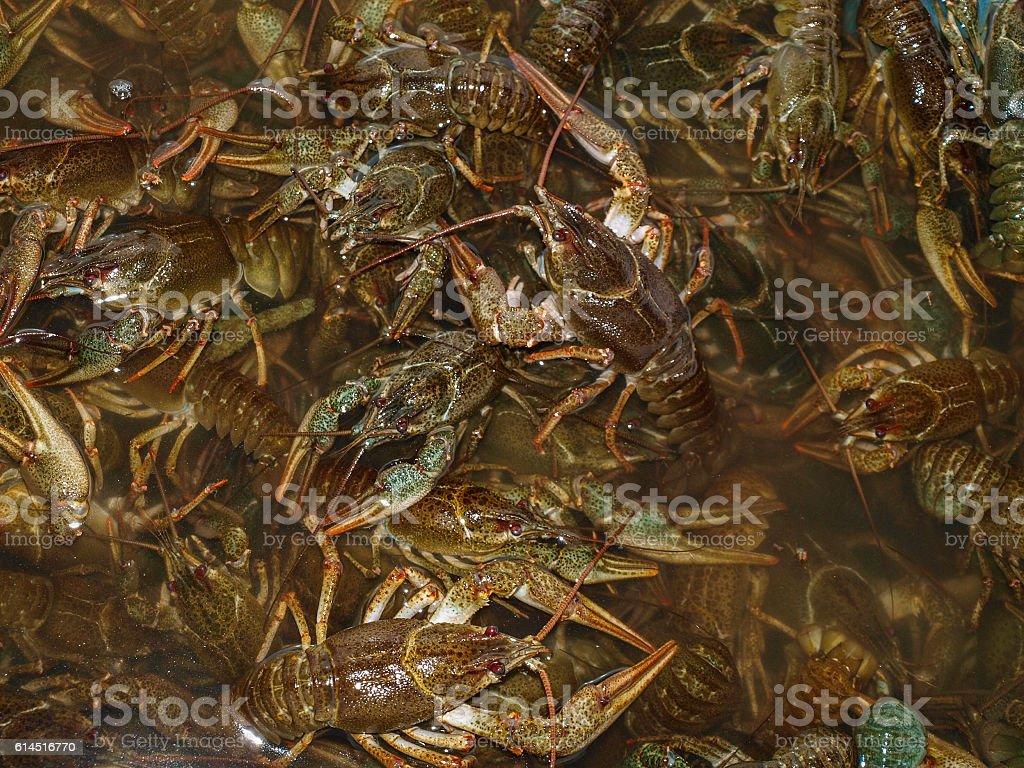 Rich catch crayfish stock photo