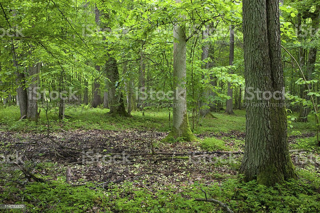 Rich deciduous forest in springtime stock photo