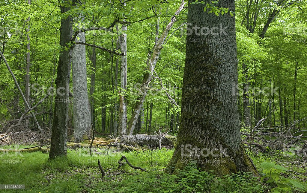 Rich deciduous stand of Bialowieza Forest in springtime royalty-free stock photo