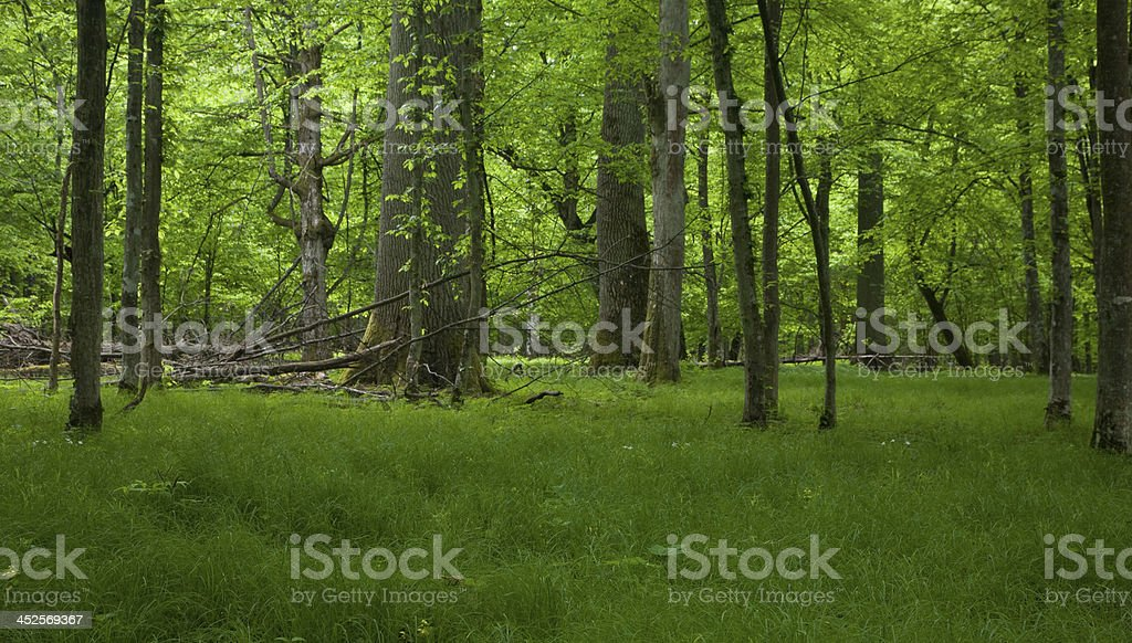 Rich deciduous stand of Bialowieza Forest in springtime stock photo