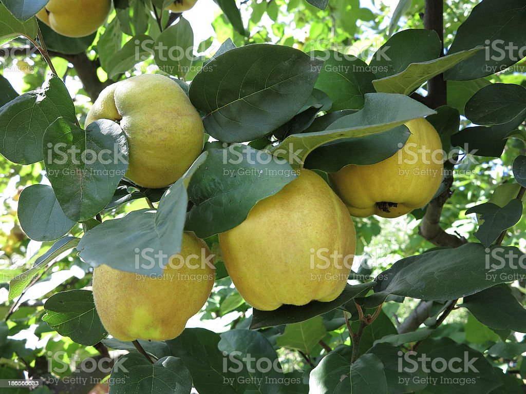 Rich colhidos-Sumo tomates amarelo Marmelos pendurar na ramificação foto de stock royalty-free