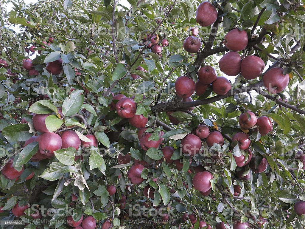 Rich colheita de juicy vermelho de maçãs no ramo de Árvore foto de stock royalty-free