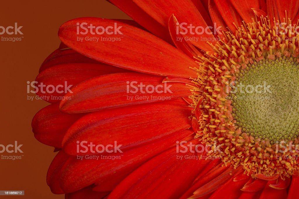Rich orange Gerbera Daisy on rust background. royalty-free stock photo
