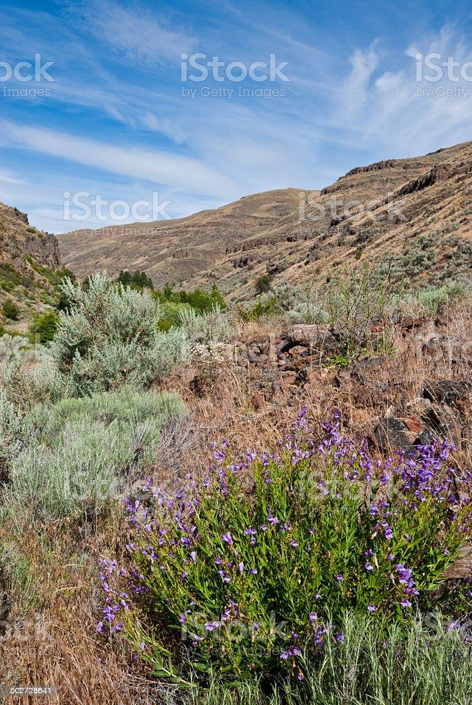 Richardson's Penstemon in Charley Creek Canyon stock photo